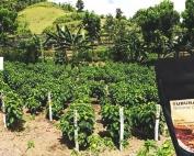 Tuburan-Coffee-Farms